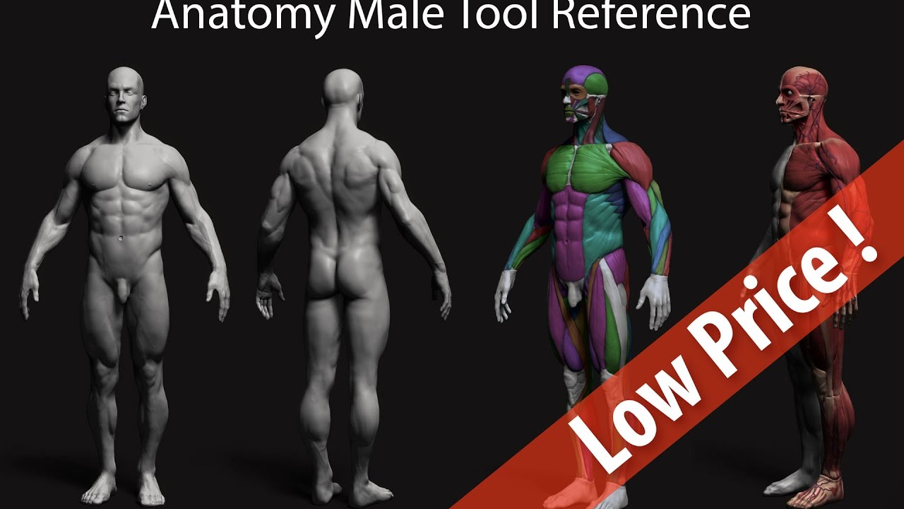 Anatomy Male Tool Reference Youtube