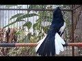 Burung Kacer Gacor Full Isian Tembakan Kenari Masteran(.mp3 .mp4) Mp3 - Mp4 Download