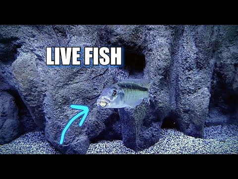 FEEDING LIVE FISH INSTEAD OF PELLETS TO AFRICAN CICHLIDS???