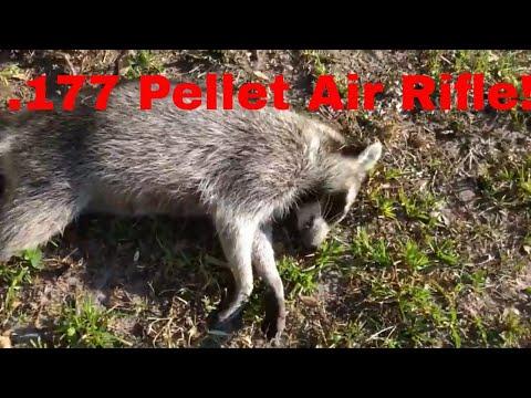 .177 Pellet rifle vs raccoons! Pellet rifle is amazing!