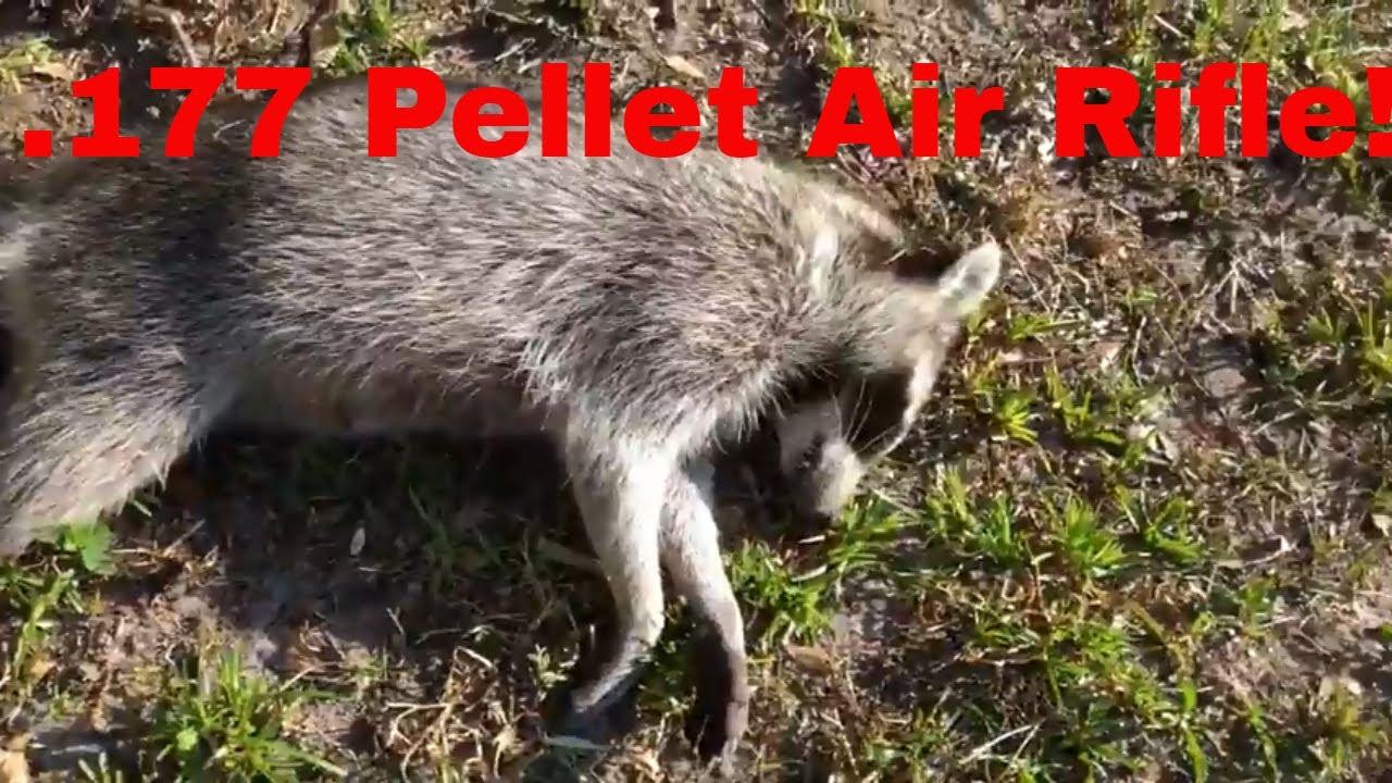 177 Pellet rifle vs raccoons! Pellet rifle is amazing!