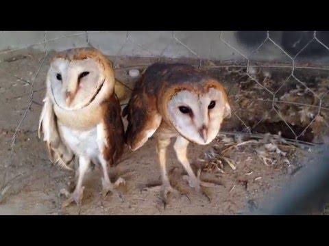 Two beautiful owl birds bride - Videos prey owl bird in cage