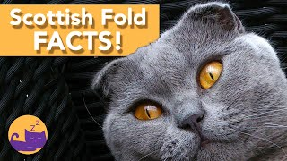 Facts About Scottish Fold Cats! 2020