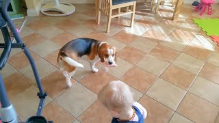 Dog Wants To Trade Slipper For A Food: Charlie The Beagle