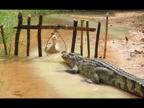 Amazing Man Show How To Trap Big Crocodile Using Duck Trap - How To Catch Crocodile In Cambodia Easy