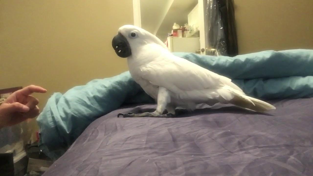 Joseph Nooo Biting 🤣🤣🤣Really funny umbrella cockatoo - YouTube - photo#40