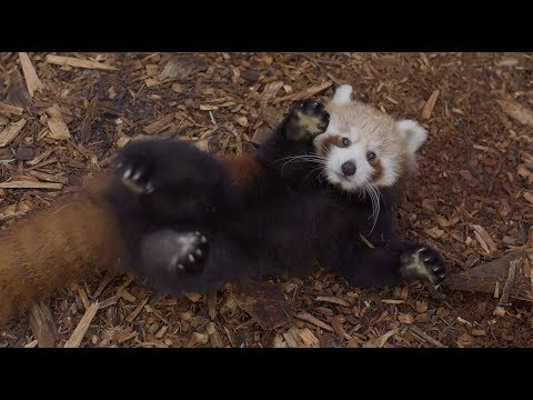 Red Panda Cubs have too much fun