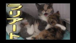 【猫好き】ラリアート!(マンチカン)《funny cats》