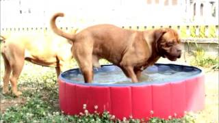 Doggy Pool Dogue De Bordeaux