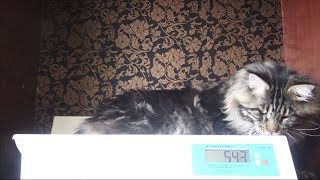 Радже 1,5 года / Взвешивание крупного кота Мейн-Куна / Питомник