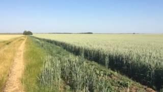 Канадская пшеница, сорт TESLA