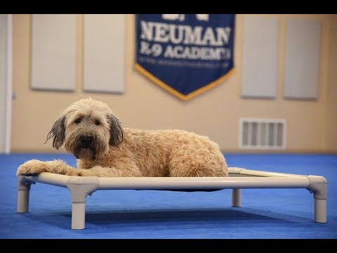Ludo (Soft-Coated Wheaten Terrier) Boot Camp Dog Training Video Demonstration