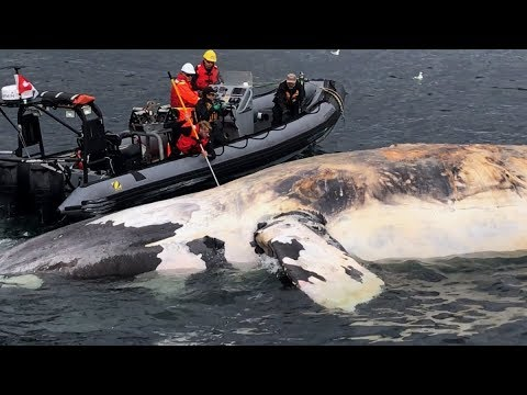 Right whale deaths in Newfoundland related to human activity: reports
