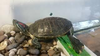 Красноухие черепахи. История появления.