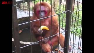 Ghetto Monkey Eating Bananas (Funny Voiceover without intro)