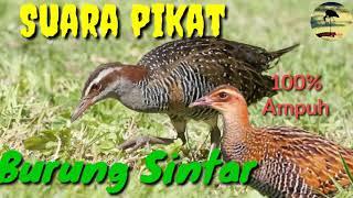Download Mp3 Suara Pikat Burung Sintar Terbaru Di Jamin 100% Ampuh