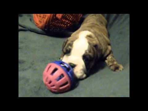 AKC Red, Brindle And White English Bulldog Mickie Girl1 1.5