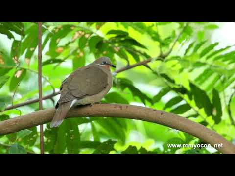 White-eared Brown-Dove at Subic rainforest