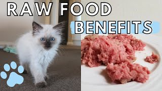 Why I Am Feeding My Kitten a RAW FOOD DIET (Getting Started in 2019)