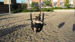 015: On A Swing / French Bulldog, Jean-claude (jcvdog)