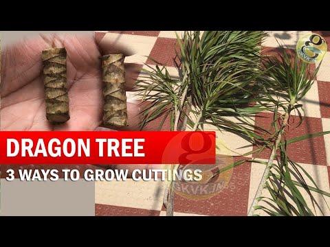 3 Ways to Grow Dracaena Plant From Cuttings | How to Propagate Dracaena Tree - Dragon Tree