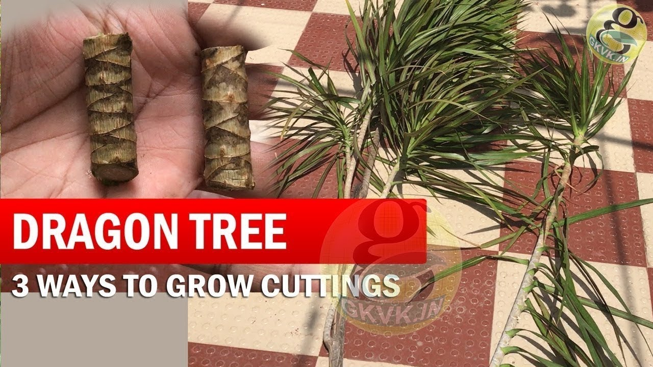 Golden dragon tree cuttings steroid injection for prickly heat