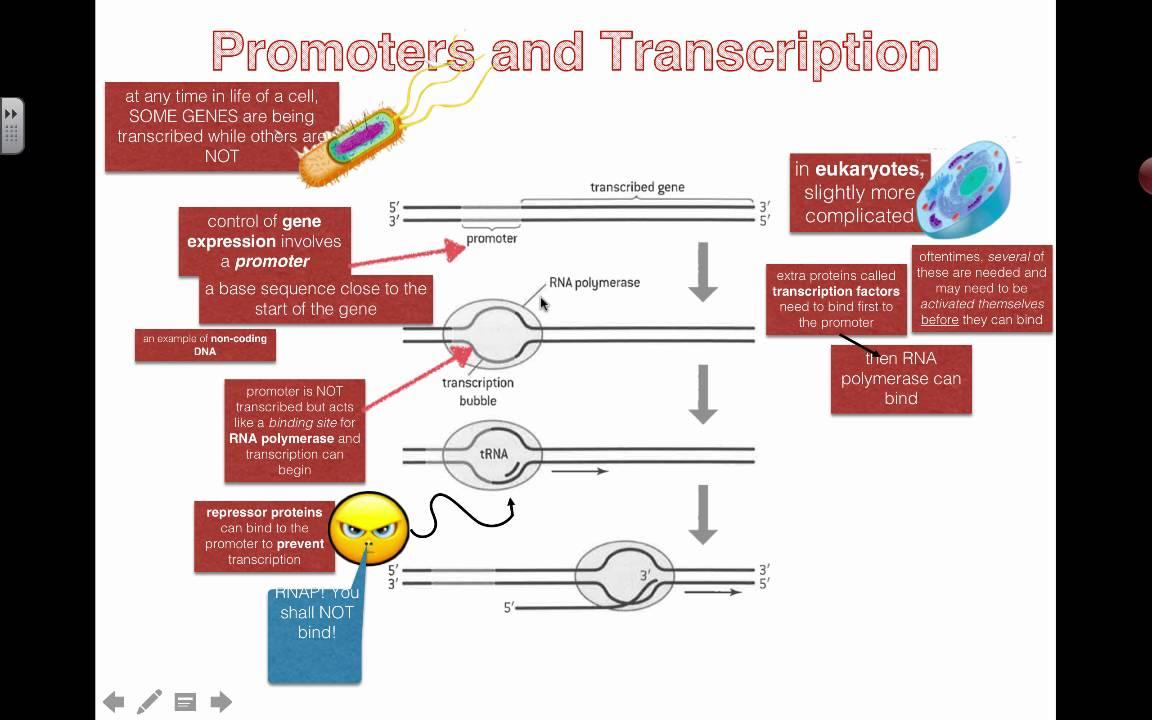 Shorten Promoter Biology
