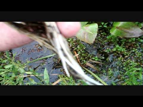 How To: Collect Native Aquatic Plants