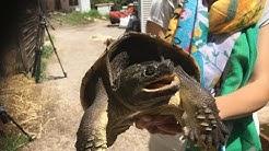 Une tortue serpentine agressive retrouvée dans la rue à Saint-André, village des Pyrénées-Orientales