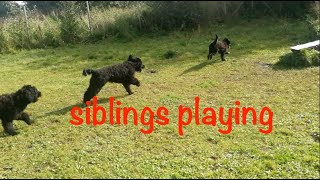 phoebe plays with her brothers  Portuguese waterdog