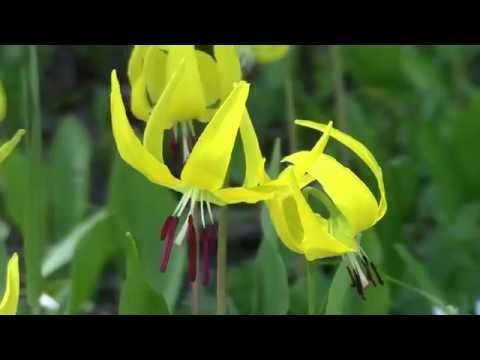 Yellowstone National Park Wildflowers Music Video