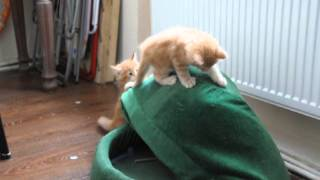 мейн кун котята - маленькие тигрята. Игры