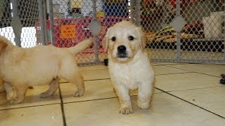 Golden Retriever, Puppies, For, Sale, In, Raleigh, North Carolina, Nc, Lumberton, Kernersville, Mint