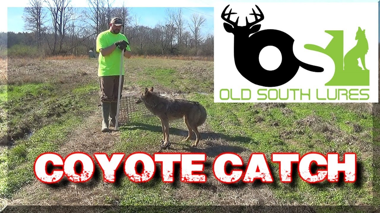 how to catch a coyote