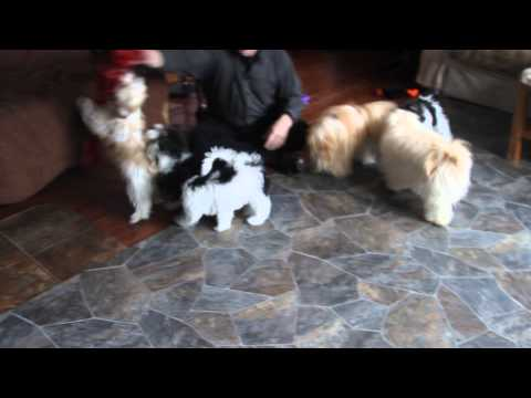Fetch Play With Havanese Pups