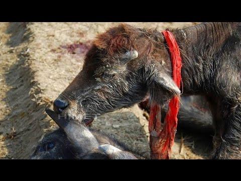 The World's Largest Animal Sacrifice Festival