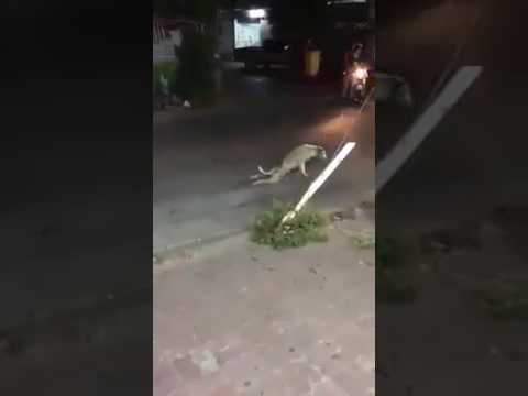 Dog plays a prank.. Dogs acts as handicapp and fools the crowd. Very very funny video