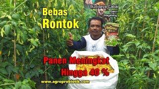CABAI BAKRI MAGELANG - BEBAS RONTOK PANEN MENINGKAT 40 % (BiotoGROW Solusi Pertanian Masa Depan)