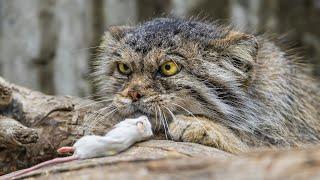 МАНУЛ - редкий, злобный, дикий горный кот! И это САМЫЙ ПУШИСТЫЙ представитель семейства!
