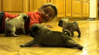 Adorable baby pugs