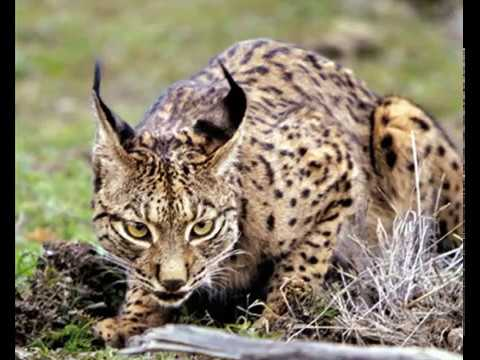 Lince Ibérico - Iberian Lynx (Lynx pardinus)