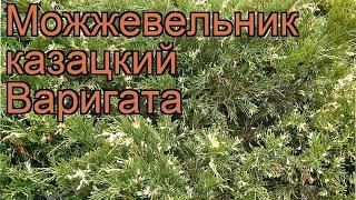 видео Можжевельник казацкий «Тамарисцифолия» и «Вариегата»: сорта, размножение и обрезка (с фото)