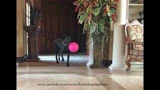 joyful great dane loves her jolly ball gift