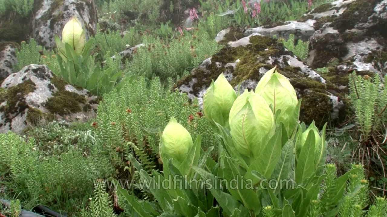 State Flower Of Uttarakhand Brahmakamal Youtube