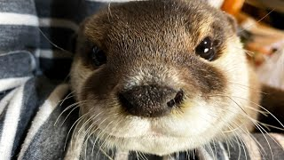 Watching an otter drink water from under a glass [Otter life Day 428]【Otter Aty & Mr.Cat】