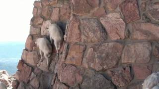 Cute! Baby Mountain Goats climb wall to get to Mama