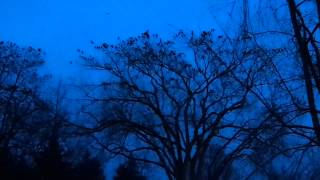 A Murder of Crows on the PSU Quad at Dusk