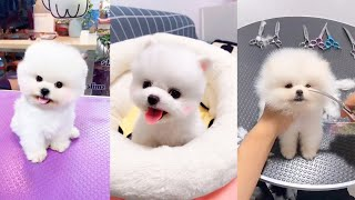 Tik Tok Chó phốc sóc mİni Funny and Cute Pomeranian Videos #3