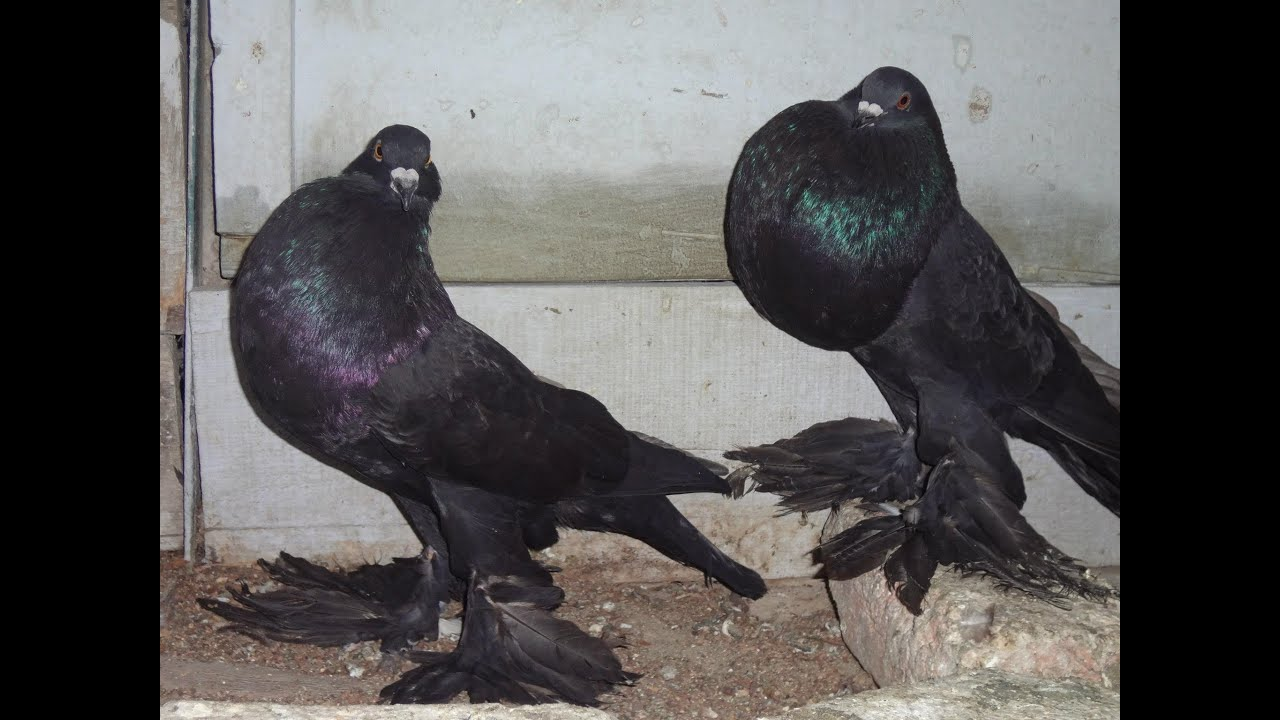 Black Pomeranian Pouter Pigeon - YouTube