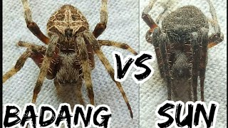 Download Badang vs Sun epic comeback / spider figh